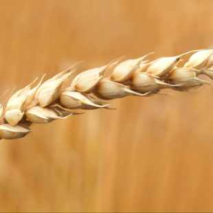What causes celiac disease header